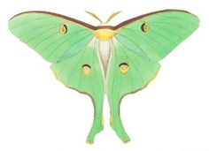 Luna Moth clipart #20, Download drawings