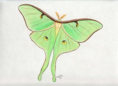 Luna Moth clipart #17, Download drawings