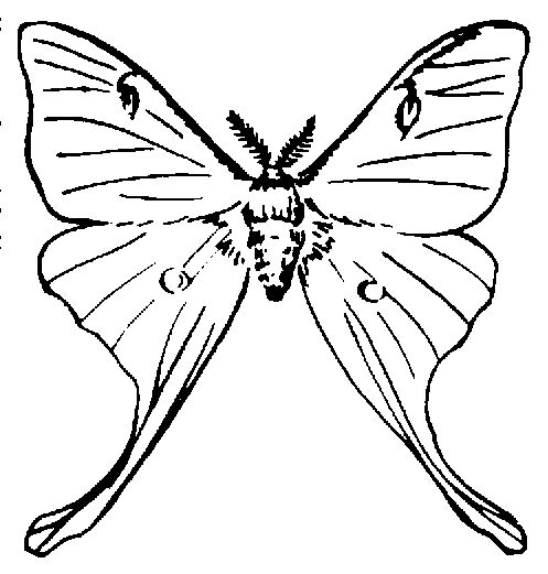 Luna Moth clipart #9, Download drawings