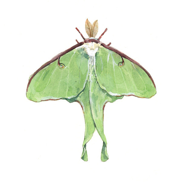 Luna Moth clipart #18, Download drawings