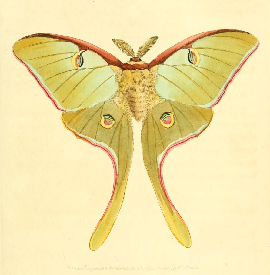 Luna Moth clipart #8, Download drawings