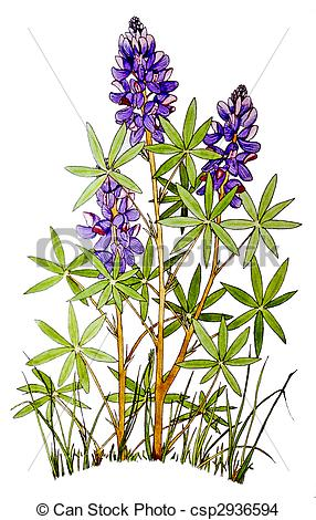 Lupine clipart #10, Download drawings