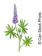 Lupine clipart #20, Download drawings