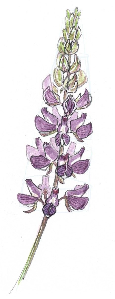 Lupine clipart #5, Download drawings