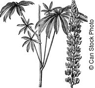 Lupine clipart #3, Download drawings
