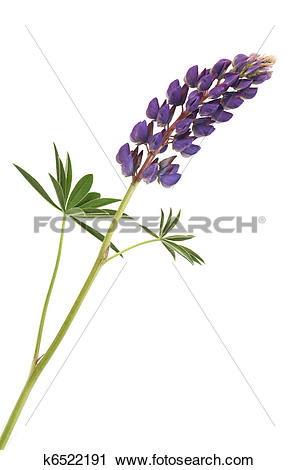 Lupine clipart #15, Download drawings