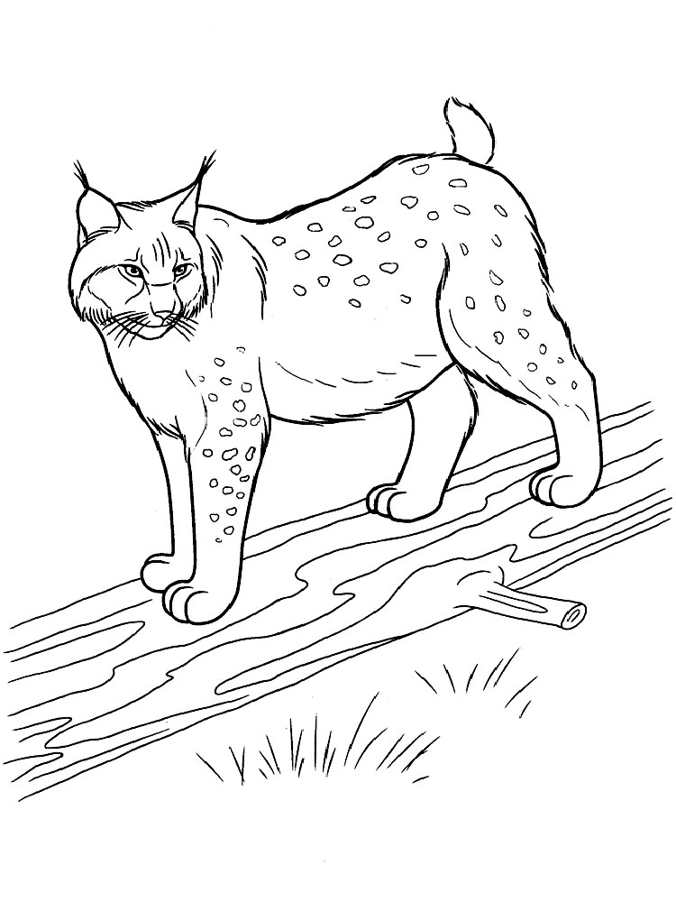 Lynx coloring #2, Download drawings