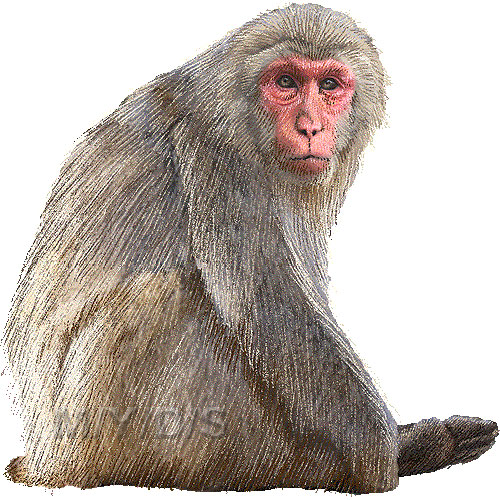 Macaque clipart #20, Download drawings