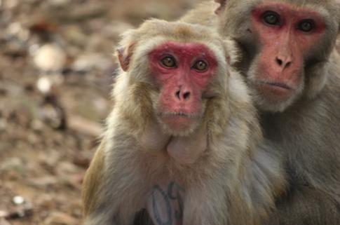 Rhesus Macaque coloring #1, Download drawings