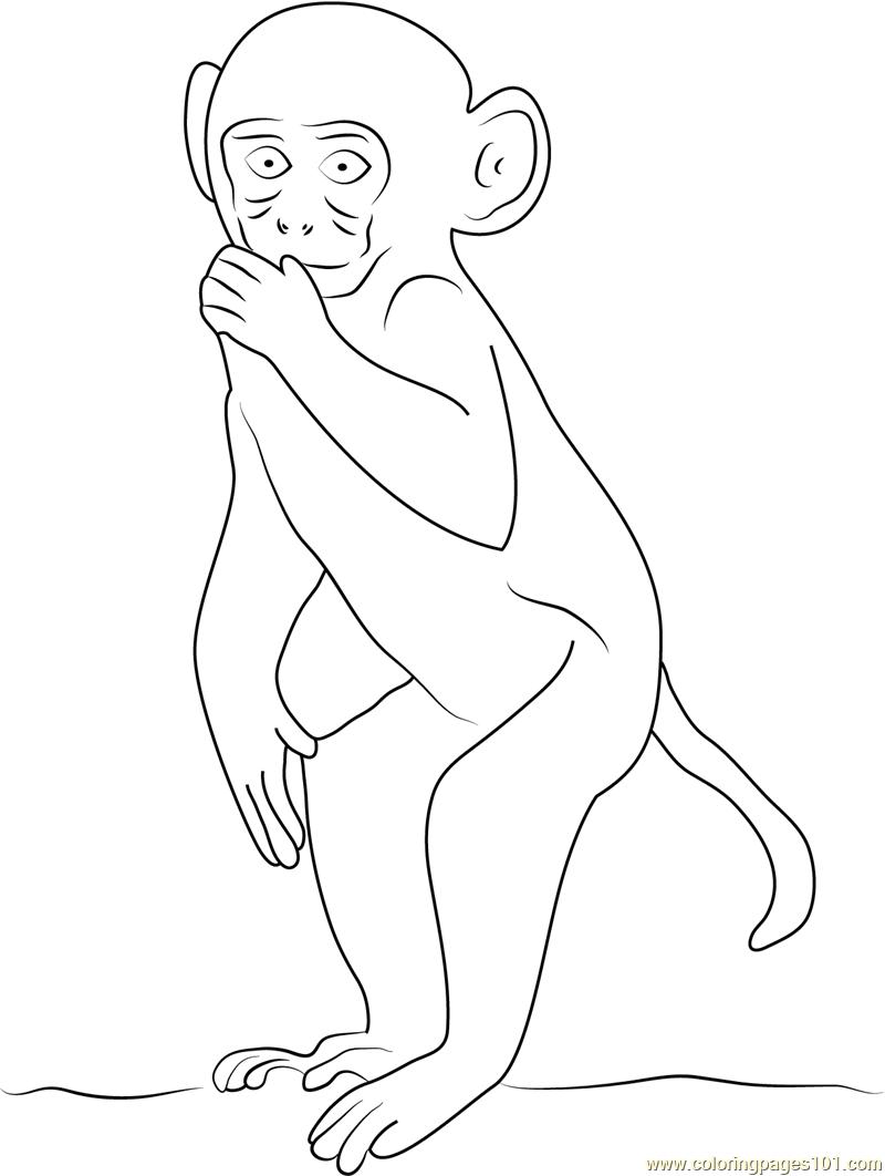 Rhesus Macaque coloring #4, Download drawings