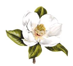 Magnolia Blossom clipart #12, Download drawings