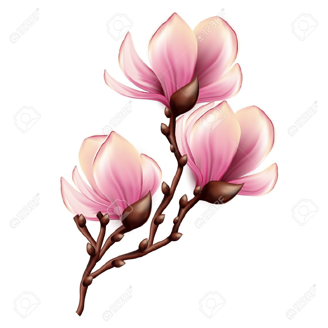 Magnolia Blossom clipart #7, Download drawings