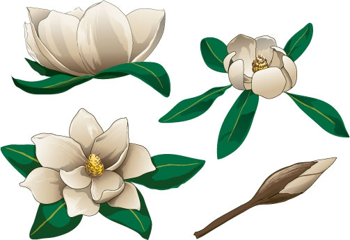 Magnolia Blossom clipart #1, Download drawings