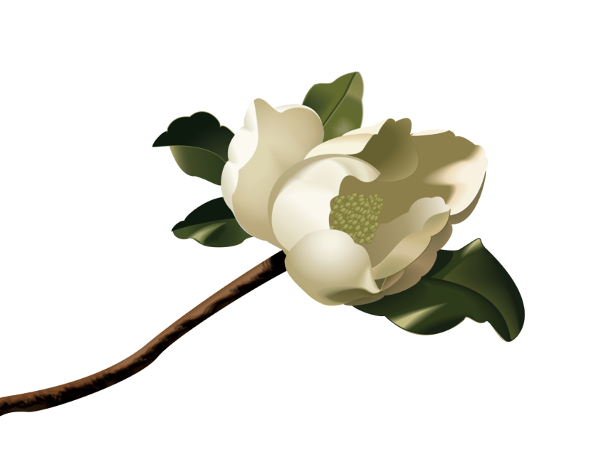 Magnolia clipart #1, Download drawings