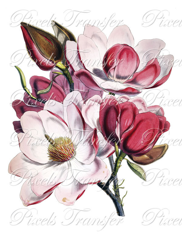 Magnolia clipart #5, Download drawings