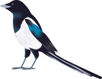 Magpie clipart #13, Download drawings