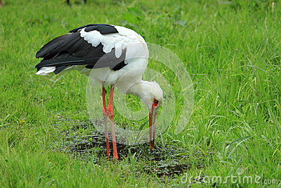Maguari Stork clipart #13, Download drawings