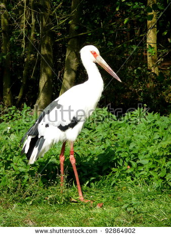 Maguari Stork clipart #7, Download drawings