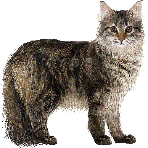 Maine Coon clipart #5, Download drawings