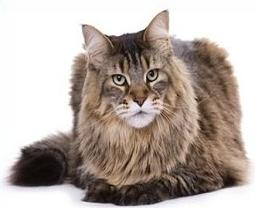 Maine Coon clipart #18, Download drawings