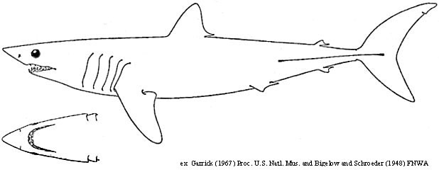 mako shark coloring pages - photo#5