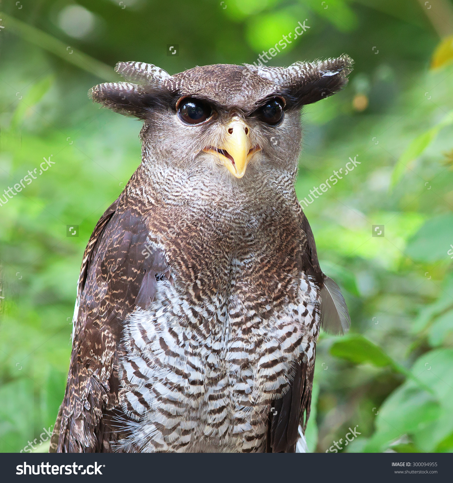 Malay Eagle Owl clipart #19, Download drawings