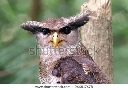 Malay Eagle Owl clipart #12, Download drawings