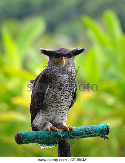 Malay Eagle Owl clipart #8, Download drawings