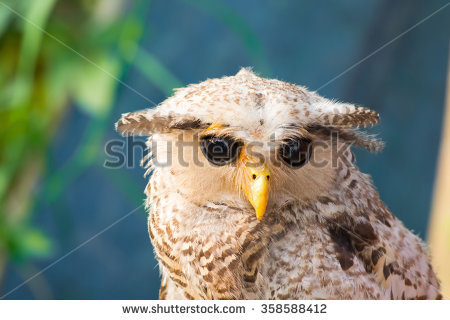 Malay Eagle Owl clipart #1, Download drawings