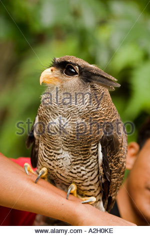 Malay Eagle Owl clipart #9, Download drawings