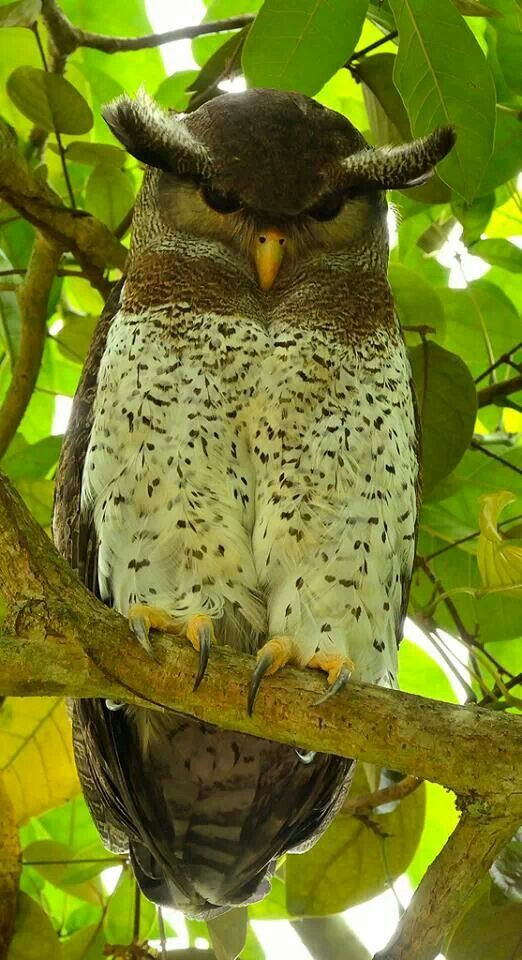 Malay Eagle Owl clipart #4, Download drawings