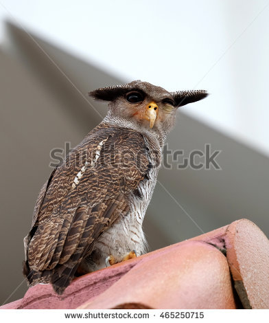 Malay Eagle Owl clipart #3, Download drawings
