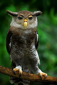 Malay Eagle Owl clipart #6, Download drawings