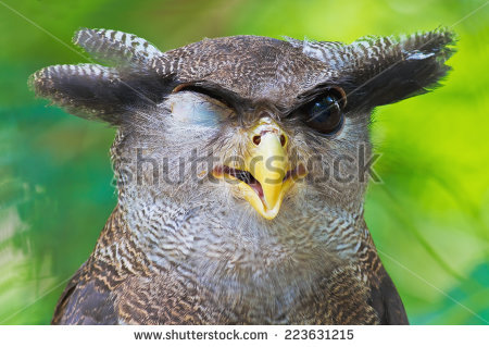 Malay Eagle Owl clipart #18, Download drawings