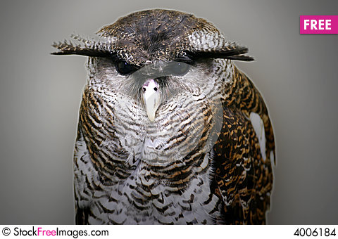 Malay Eagle Owl clipart #13, Download drawings