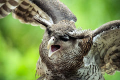 Malay Eagle Owl clipart #17, Download drawings