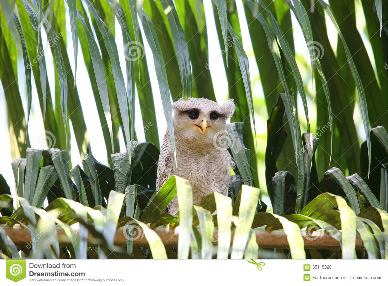 Malay Eagle Owl clipart #16, Download drawings