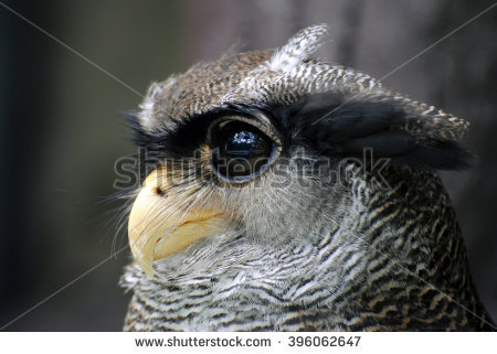 Malay Eagle Owl clipart #14, Download drawings