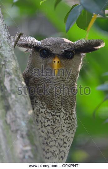 Malay Eagle Owl clipart #15, Download drawings