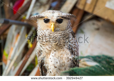 Malay Eagle Owl clipart #2, Download drawings