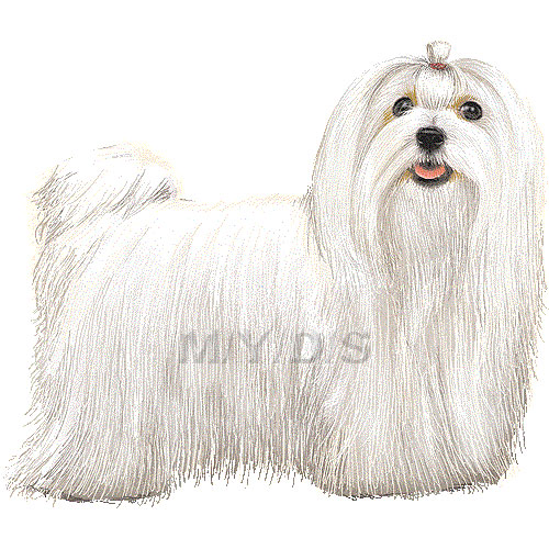 Maltese clipart #1, Download drawings