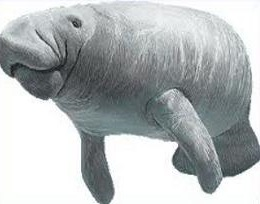 Manatee clipart #16, Download drawings