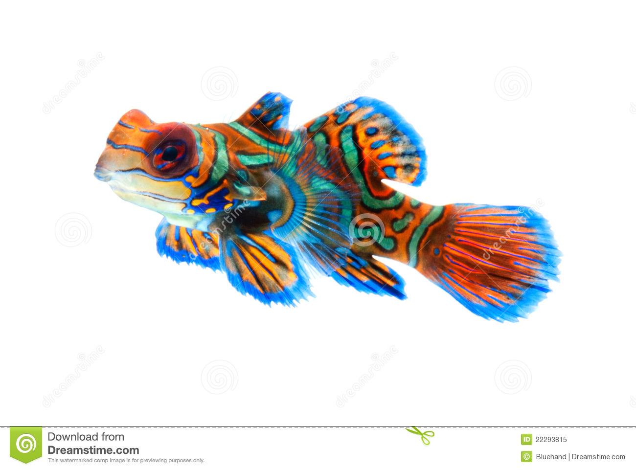 Mandarinfish clipart #13, Download drawings