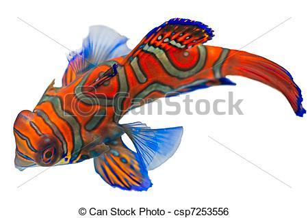 Mandarinfish clipart #12, Download drawings