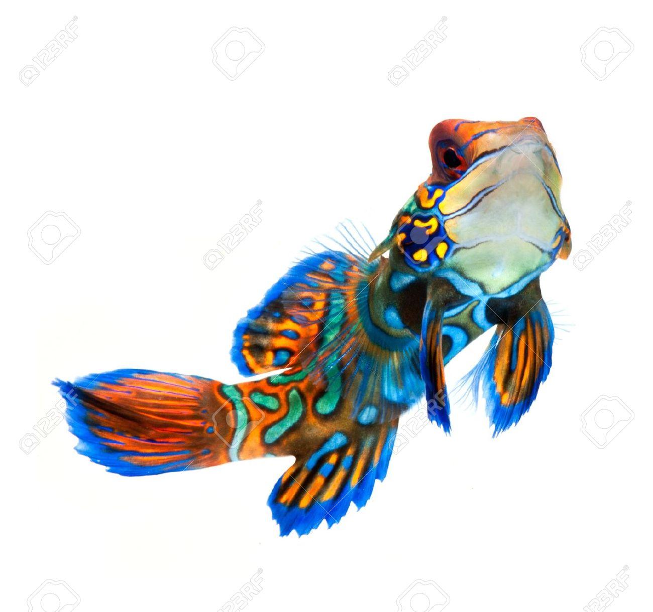 Mandarinfish clipart #3, Download drawings