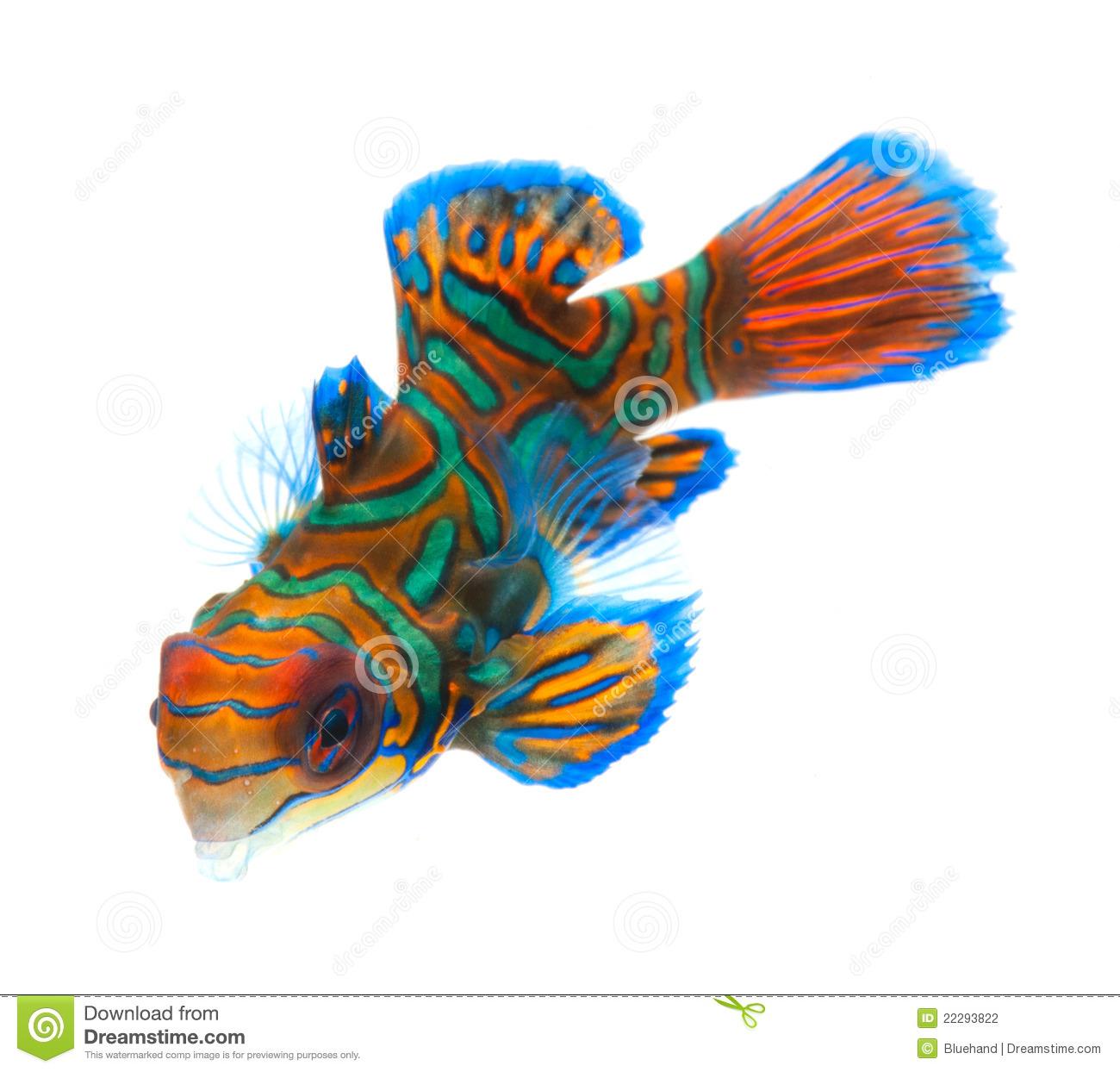 Mandarinfish clipart #19, Download drawings