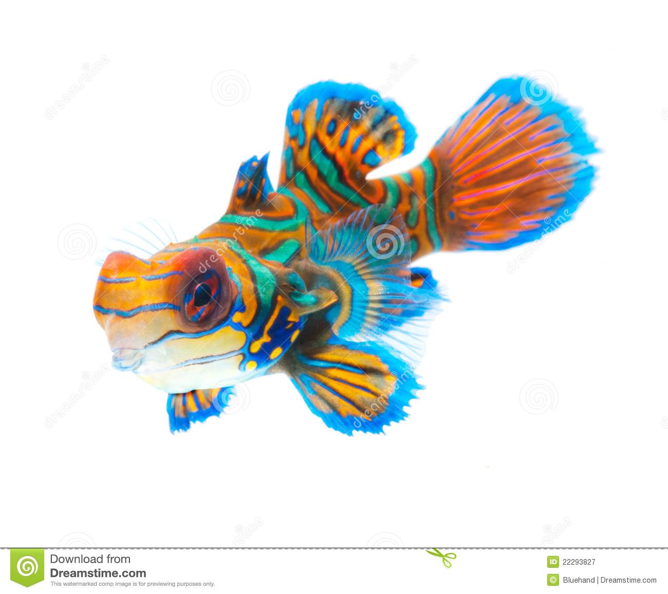 Mandarinfish clipart #2, Download drawings