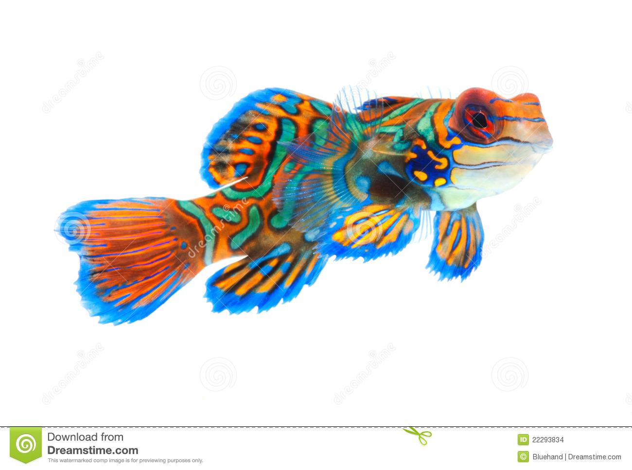 Mandarinfish clipart #14, Download drawings