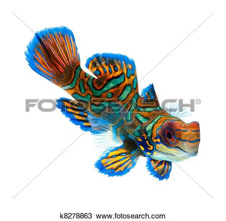 Mandarinfish clipart #11, Download drawings