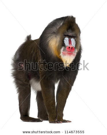 Mandrill clipart #10, Download drawings